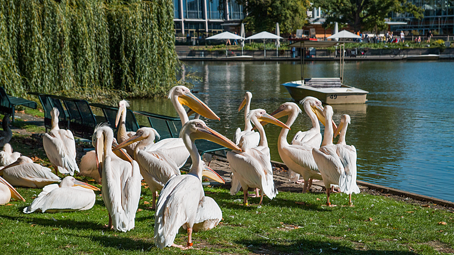Pelikane am Stadtgartensee