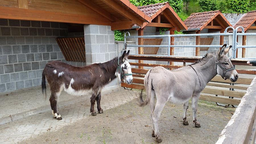 Neben Eseln gibt es auch kleine Ponys